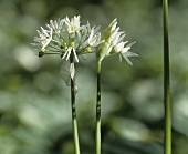 Ramsons (wild garlic) flower in close-up