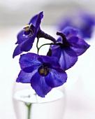 Dark-blue larkspur flowers in close-up