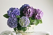 Hydrangea in full bloom in flowerpot