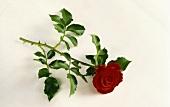 Einzelne rote Rose mit Stiel und Blättern