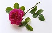 Einzelne aufgeblühte Rose