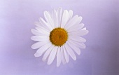 White marguerite from above