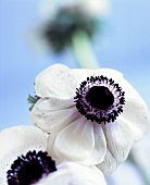 Two white anemone flowers