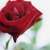 Eine rote Rose (Nahaufnahme)