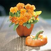 Orange horned violets in a pepper