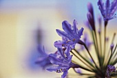 African lily (Agapanthus praecox)