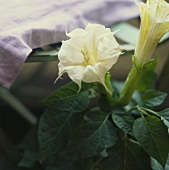 Angel's trumpet (Datura) with white flowers