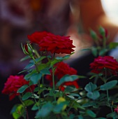 Red-flowered miniature rose
