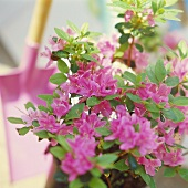 Prachtvolle blühende Japan-Azalee (lat. Rhododendron obtusum)