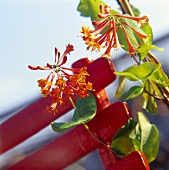 Honeysuckle: Lonicera brownii 'Dropmore Scarlett'