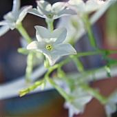 White flowering ornamental tobacco (Nicotiana x sanderae)