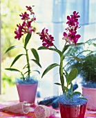 Flowering Dendrobiums