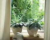 Succulent Echeveria for a sunny window-sill