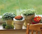 Window-sill with mind-your-own-business, coral bead plant