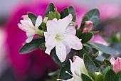 Azaleenblüte, weiss mit rosa Rand