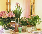 Pink-flowered house plants, hydrangea, kalanchoe