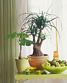 Interesting house plants, Beaucarnea and Jatropha