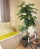 Schirmakazie (lat. Albizia julibrissin) neben der Badewanne