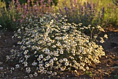 Flowering chamomile in herb garden
