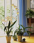 Flowering orchids (Oncidium) as indoor decoration