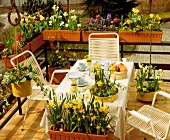 Terrace with spring flowers, daffodils, hyacinths, tulips