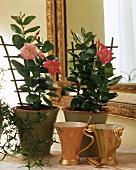 Fragrant Dipladenias with small wooden trellis