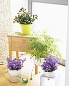 Grüne Oase im Zimmer mit Glockenblumen, Frauenhaarfarn etc.