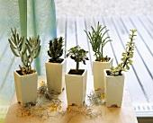 Succulents and Euphorbias, drought resistant plants