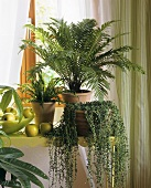 Green window: Senecio, Dicksonia and tree fern