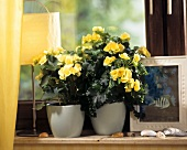 Window-sill with yellow-flowered Begonia hybrids