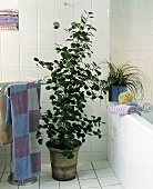 Focal point in bathroom - Mistletoe fig tree
