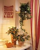 Ivy and Shrimp plant (Beloperone guttata) for light positions