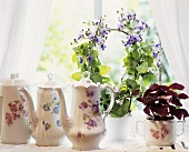 China coffee pots surrounded by Oxalis and climbing plant