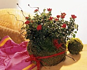 Red rose in pot wrapped in moss and raffia