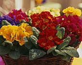 Lots of colourful primulas in a large basket