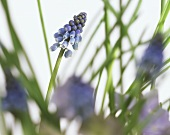 A blue grape hyacinth standing in grass