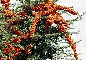 Firethorn
