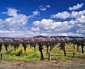Frühling auf den Trefethen Vineyard, Napa Valley, Kalifornien