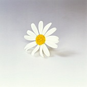 A marguerite flower on a light background