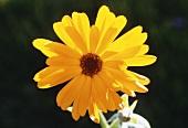 Kenikir with flowers (Cosmos sulphureus)