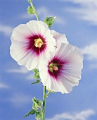 Hollyhocks (Alcea rosea) against blue sky