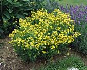 Perforate St. John's wort (Hypericum perforatum) flowering plant