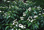 Crepe jasmine (Tabernaemontana divaricata)