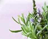 Frischer Lavendel mit Blüten (lat. Lavandula angustifolia)