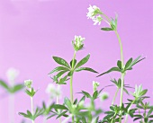 Fresh woodruff with flowers (Galium odoratum)