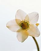 Blüte einer Christrose