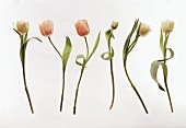 Tulip, salmon-coloured and white, in a row