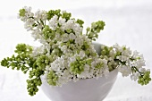 White lilac in small porcelain bowl