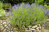 Flowering lavender in herb garden