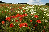 Poppies and oxeye daisies in meadow
